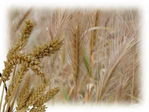wheat.tares